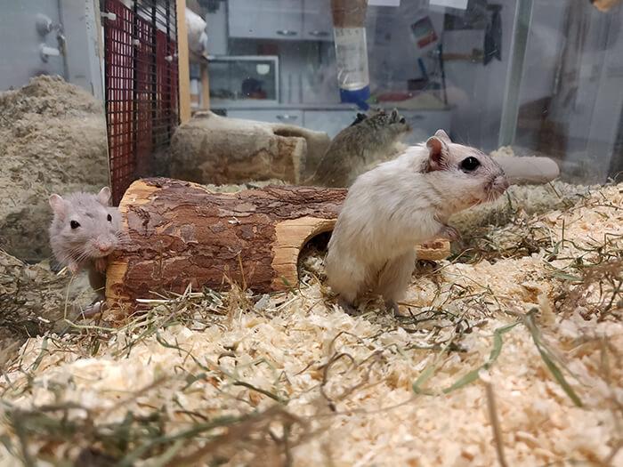 Lemmikkinä gerbiili 1
