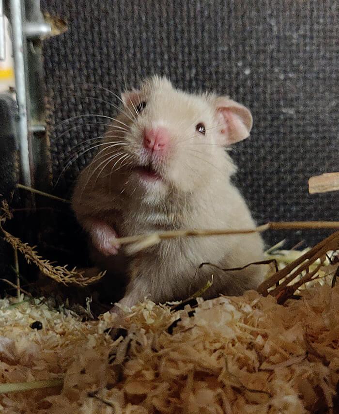 Syyrialainen hamsteri -uros Vihtori